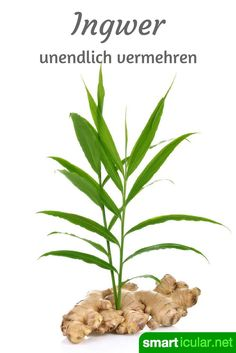 Garten Ginger is healthy and can be used in many different ways. Instead of buying expensive bulbs a Hair Rainbow, Le Baobab, Balcony Plants, Weed Seeds, Palmiers, Plantation, Back Gardens, Gardening For Beginners, Winter Garden