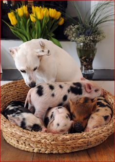 Baby sitter for little pigs :)