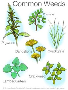 9 Common Lawn Weeds and How to Handle Them   Weed, Lawn weeds and ...