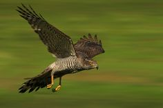 Goshawk in flight - Photography by Ronald Coulter