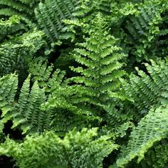 Woodland garden: Dryopteris affinis 'Cristata the King' Evergreen Ferns, Hanging Ferns, Townhouse Garden, Fern Plant, Vascular Plant, Smart Garden, Foliage Plants, Aquatic Plants, Farm Gardens