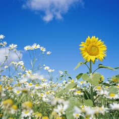 Daisies are a part of the sunflower family, and grow in very similar habitats as their big yellow relatives.