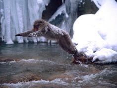The Snow Monkeys of Jigokudani Yaenkoen Monkey Jump, Snow Monkey, Primates, Make You Smile, Creatures, Robots, Random Stuff, Japanese, Future