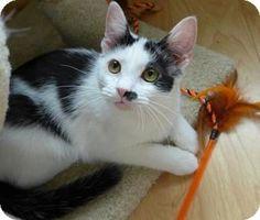 Westampton, NJ - Domestic Shorthair. Meet Chaplin 32103286, a kitten for adoption. http://www.adoptapet.com/pet/16410497-westampton-new-jersey-kitten