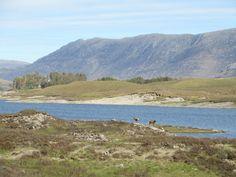 Herten in de Highlands