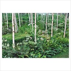silver birch trees, hosta and ferns - love them