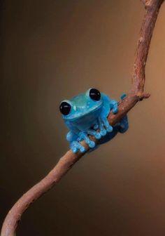 Trop mignonne cette grenouille bleue