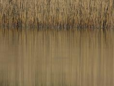 Reeds and their Reflection in Still Water Photographic Print by Joe Petersburger at Art.com