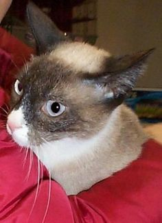 Kylie is an adoptable Siamese, Snowshoe Cat in New York, NY Kylie is a sweet buxom beauty who loves to play pounce, catch, leap and any sort of interactive ... ...Read more about me on @Petfinder.com.com