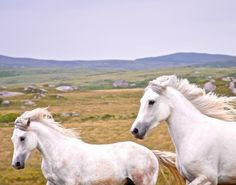 """Connemara Ponies at Dusk and it was captured by photographer Joshua Boyd.  Joshua explains the story behind this beautiful photo, stating: """"While driving through Ireland's Connemara region at the end of a dreary rainy day, two Connemara ponies unexpectedly ran alongside our car and began to play. I slammed on the brakes and started shooting through the passenger window while the ponies put on a show as if they knew we were the only people around for miles."""""""