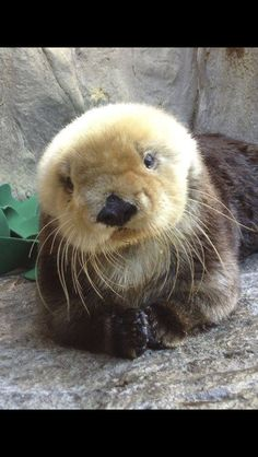 Sea Otter                                                                                                                                                                                 More
