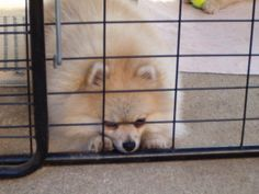 Angelina is an adoptable Pomeranian Dog in Monrovia, CA. Angelina is a gorgeous cream sable pomeranian. She is AKC registered and had a short show career. Unfortunately, she had some coat problems and...