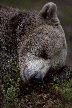 beautiful-wildlife:Sweet DreamsbyJamen Percy Brown Bear, Finland, Kuhmo Boreal Forest༺ ♠ ŦƶȠ ♠ ༻