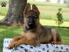 Master, German Shepherd puppy for sale in Paradise, Pa