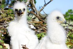Australia's cutest baby animals - Australian Geographic. Wedge-tailed eagles.