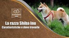 Arriva un cucciolo di Shiba Inu, ecco cosa aspettarti DAVVERO