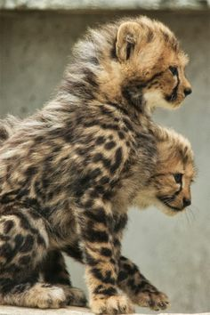 Oh my god, babies cheetah!