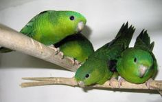 Lineolated parakeet? Never heard of a linnie? Read on! Lafeber Company keeps your bird knowledge growing!
