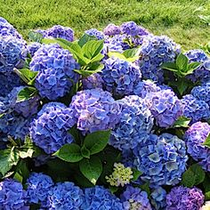 HYDRANGEA macrophylla 'Mathilda Gutges'  Grow in moist, but well-drained soil, in sun to partial shade. Provide shelter from drying winds. This hydrangea flowers on the previous season's wood, and can be maintained by cutting back just to the first pair of buds beneath the old flower in spring.