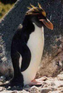 Macaroni Penguin Pictures
