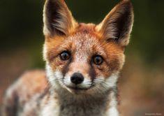 Red Fox by Alex Drangovsky on 35Photo