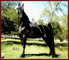 photos of tennessee walkers horse | Tennessee Walking horse - 2008 World Grand Champion, Santana's El ...