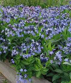 Amsonia, a little-known plant and a favorite of designer Tom Stuart Smith that grows without staking and has gorgeous blue flowers in early summer. Later in the season, it becomes a trouble-free dome of foliage.