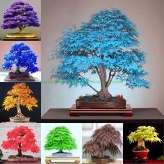 Maple Tree Seeds 30 pcs/pack Maple Seeds Bonsai Blue Maple Tree Japanese Maple Seeds Balcony plants for home garden