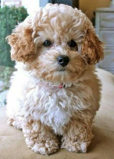 "Acquire great pointers on ""poodle puppies"". They are offered for you on our site. Cute Puppies, Cute Dogs, Cute Fluffy Dogs, Puppies Puppies, Bulldog Puppies, Baby Animals, Cute Animals, Teddy Bear Dog, Sweet Dogs"