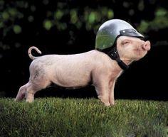 mini pig wallpaper - Buscar con Google