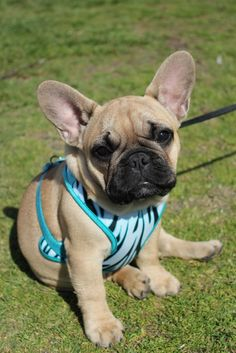 One of the cutest little French bulldog puppies that I have ever seen!  I want!