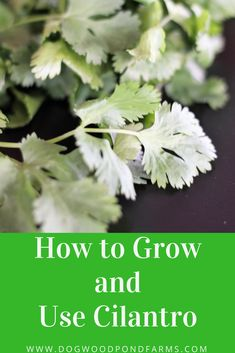 Cilantro is an easy herb to grow and versatile to use. Check out how to grow and use it and try this homemade salsa recipe!