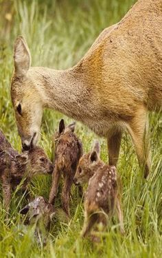 Doe deer with quad fawns