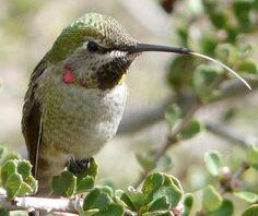 Creating a hummingbird garden with California Natives