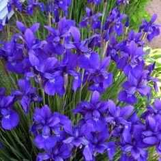 Siberian irises from my garden