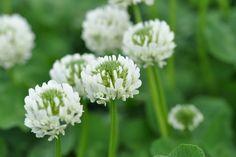 【F】実家でいちばん身近にあったクローバーの花です。よく花飾りつくりました。