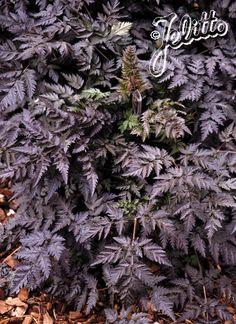 Jelitto Perennial Seeds: ANTHRISCUS sylvestris 'Ravenswing' - Ravenswing Cow Parsley