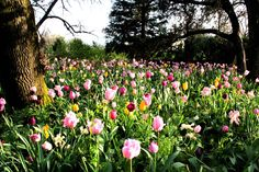 Rutherford Tulips