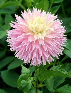 Dahlia 'Just Married Flowers Nature, Exotic Flowers, Amazing Flowers, Beautiful Flowers, Beautiful Pictures, Blossom Garden, Herbaceous Perennials, Formal Gardens, Dahlia Flower