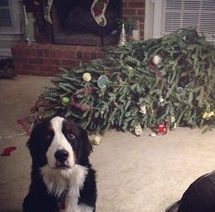 Oh Good, You're Here. The Tree Just Fainted! - http://www.boredpanda.com/animals-destroying-christmas/