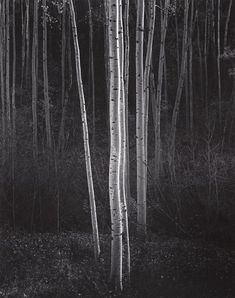 Aspens , Northern New Mexico, 1958, Ansel Adams