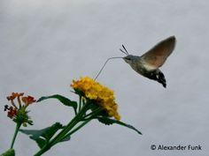 Kolibri in Deutschland? Was es mit dem Insekt namens Taubenschwänzchen auf sich hat und wo man bei uns echte Kolibris sehen kann, erfahrt ihr im Artikel.