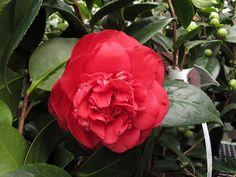 Camellia japonica 'April Tryst'