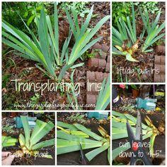 How to Plant Iris, transplanting Iris
