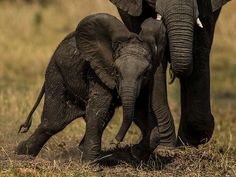 Image by @beverlyjoubert. This little African elephant had been fast asleep in the heat of the day but was startled awake as the herd moved on around him. His reaction was to fake bravado and charge anything and everything around him until he realized that he was safe. His mother's calming trunk was always there, reaching out to protect him. #elephant #botswana #bravado