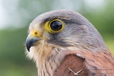 Falco Tinnunculus by Hardpoint Photography on 500px