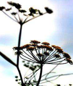 Fennel flowers. Fennel, Dandelion, Garden, Flowers, Plants, Garten, Dandelions, Lawn And Garden, Gardens