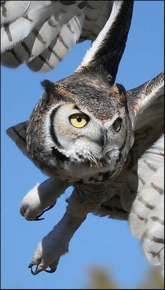 A beautiful horned owl....the yellow eyes are watching for something ~