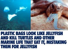 Plastic bags look like jellyfish and kill turtles and other marine life that eat it, mistaking them for jellyfish.