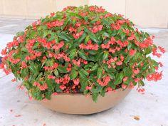 Tem planta que gosta mais de sol do que carioca de férias. Selecionamos aqui 27 espécies, entre flores – como as hortênsias acima (Hydrangea macrophylla) –, arbustos e trepadeiras. Vai ser duro escolher qual plantar!